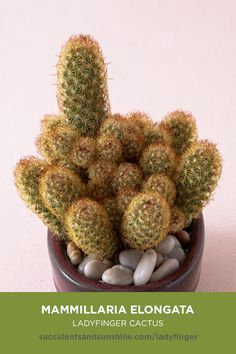 "is perfect for the beginner's succulent garden. Mammillaria elongata ""Ladyfinger Cactus"" is perfect for the beginner's succulent garden. Its tubes form dense green and orange clusters, with light yellow or pink flowers in the Spring. via elongata ""L. Types Of Succulents, Growing Succulents, Cacti And Succulents, Planting Succulents, Types Of Cactus, Cactus House Plants, Indoor Cactus, Propagating Cactus, Cactus Names"