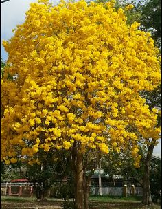 Poui Tree @ its beauty Port Of Spain, Nature Center, Garden Trees, Flowering Trees, Belleza Natural, Grenada, Trinidad And Tobago, Shrubs, Planting Flowers