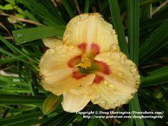 Daylily in my garden