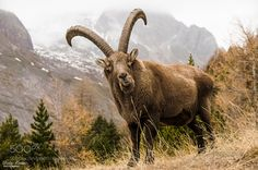 Photograph King of the Alps by didier cortini on - Ibex in the French Alps. Nature Pictures, Animal Pictures, Beautiful Pictures, Animal Photography, Travel Photography, French Alps, Animals Images, Wild Animals, Pet Birds