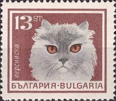 Persian (Felis silvestris catus)