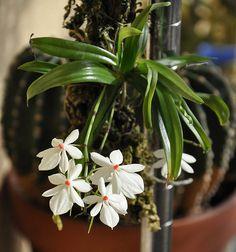 Portal Multiflora: Aerangis luteoalba var. rhodosticta
