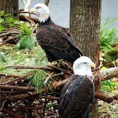 These beautiful bald eagles call the Santa Fe Teaching Zoo home