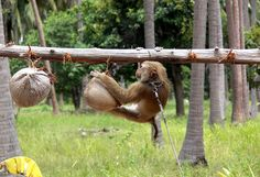 Did a Monkey Pick Your Coconuts? APPROVED! Companies That DO NOT Use Monkeys AND are Fair-Trade These companies engage in ethical business practices, ensuring human workers are properly compensated for their work. They do not use monkeys or human children to harvest coconuts.