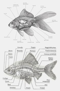100+ Best Good As Gold images   goldfish, beautiful fish, goldfish artPinterest