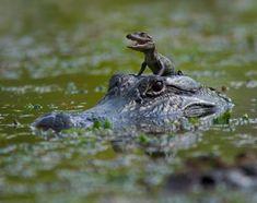 Feeling adventurous? Mamba Village in Mombasa, East Africa, alligator Mom & hatchling.
