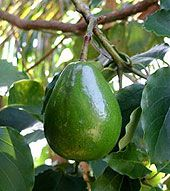 Did you know that you can grow an #avocado plant from an avocado pit? It's easier than you may think!