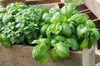 Légumes et potager - La culture du basilic en pot