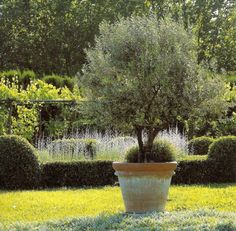 The Art of French Vegetable Gardening...a lovely old rosemary plant~