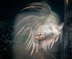 1000 images about something fishy on pinterest betta for Albino betta fish