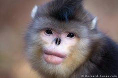 Macaco cinzento de nariz arrebitado
