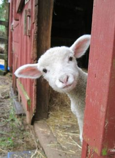 Baby Lamb Farm Animals Cute Pictures At the beginning when he was fed lamb. Part 1 Funny Animal Memes, Funny Animal Pictures, Cute Pictures, Funny Animals, Funny Memes, Hilarious Pictures, Animal Pics, Animal Quotes, Cute Pics