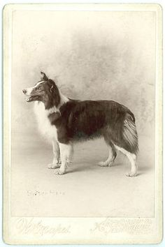 Beautiful Collie Dog - Excellent Pose - Rare 1880s Cabinet Card Photo |
