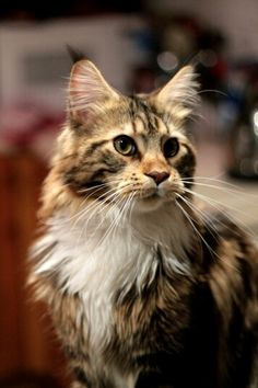 Casco, the Maine Coon #cat http://www.mainecoonguide.com/where-to-find-maine-coon-kittens-for-sale/