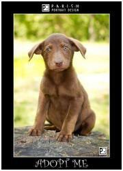 Daisy is an adoptable Labrador Retriever Dog in Amory, MS.  ...