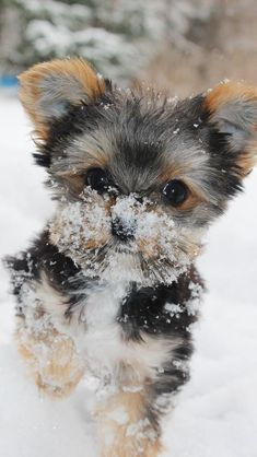 """Determine additional info on """"yorkshire terrier dogs"""". Have a look at our internet site. Yorshire Terrier, Cute Puppy Wallpaper, Puppy Wallpaper Iphone, Puppies Wallpaper, Tiny Puppies, Beagle Puppies, Pet Dogs, Pets, Yorkshire Terrier Puppies"""