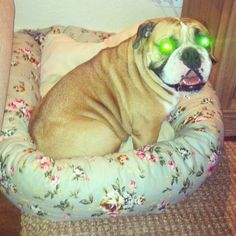 DIY dog bed    Why are the dogs eyes green!!??