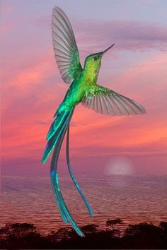 Totaly Outdoors: Long Tailed Sylph Hummingbird - found in Bolivia, Colombia, Ecuador, Peru