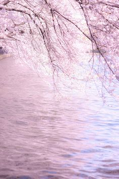 さくらしゃわー by man_maru, via Flickr