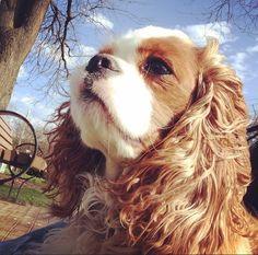 Cavalier King Spaniel #puppy