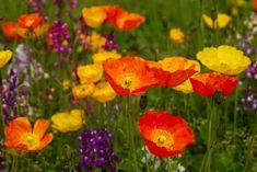 poppies birth flowers august