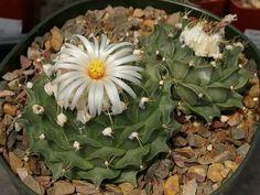 Obregonia denegrii – Artichoke Cactus