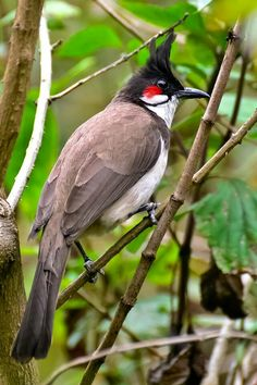 Red whiskered bulbul, south asia.