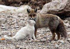 Gato e raposa