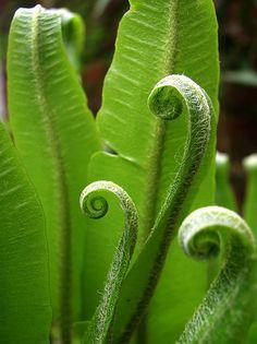 Asplenium scolopendrium by saveitasajpeg, via Flickr