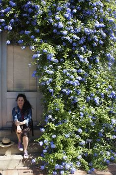 Plumbago auriculata (Cape Leadwort) native: South Africa and me! This can be turned into a vine.