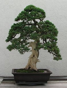 "A Dwarf Japanese Juniper (Juniperus procumbens 'Nana') bonsai on display at the National Bonsai & Penjing Museum at the United States National Arboretum. According to the tree's display placard, it has been in training since 1975. It was donated by Thomas Tecza. This is the ""back"" of the tree."
