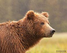 Bear in Alaska Rain Large Animals, Cute Animals, Japanese Akita, Brown Bears, Cute Animal Photos, Endangered Species, Shiba Inu, Horseback Riding, Wildlife Photography