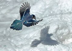 by Brian Pelkey Love Birds, Beautiful Birds, Hope Is The Thing With Feathers, Trout Fishing, Colorful Birds, Blue Jay, Bird Feathers, It Cast, Creatures