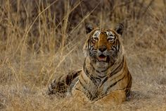 Tiger's gaze - One more from the series of Krishna's encounter in Ranthambhore. She was not at all camera shy !