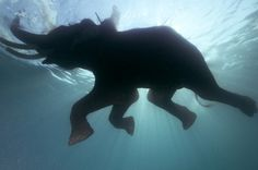 'Swimming Elephant' National Geographic Gallery Print