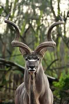 The kudus are two species of antelope of the genus Tragelaphus:      Lesser kudu, Tragelaphus imberbis, of eastern Africa     Greater kudu, Tragelaphus strepsiceros, of eastern and southern Africa