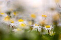 Bellis perennis - Spring tour