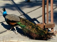 Peacock photo by Joy Fussell