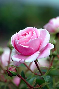 Floribunda Rose ~ Rosa 'Crescendo'  Germany, 2003