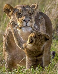 Apparently, this lion cub wants his mother's attention © Susan Portnoy Big Cats, Cats And Kittens, Cute Cats, Nature Animals, Animals And Pets, Beautiful Cats, Animals Beautiful, Cute Baby Animals, Funny Animals