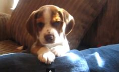 Beagle Puppy Howl–So Cute It Hurts! (Video)