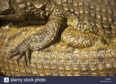 92 best the crocodile peter pan images on pinterest fabric found on google from alamy altavistaventures Images