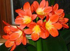 Clivia Miniata - Flame Lily/Kaffir Lily <3