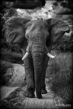 This big elephant was quickly walking towards us, well decided to be respected in his own natural habitat… And we weren't long to move backwards to let him go his own way !