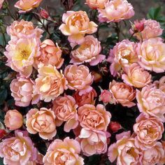 Thank you Rose for Sale | Send a Thank you Rose with Tree2mydoor|