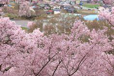 506:「今までに、見たことがないくらい、さくらの花が多いです。」@高遠城址公園
