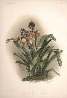 cypripedium boxalli atratum      ...