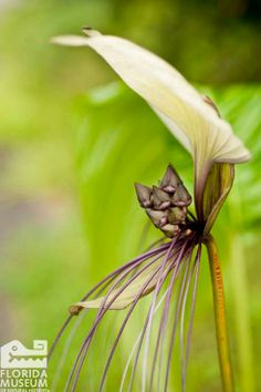 A White Bat Flower in the Butterfly Rainforest. Florida Museum of Natural History photo by Kristen Grace