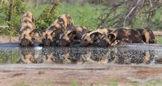 Wild Dogs drinking at the Orpen waterhole on the outside Orpen camp Kruger National Park, National Parks, African Wild Dog, Apex Predator, Wild Dogs, Hunting Dogs, Cool Landscapes, Travel Photographer, Dog Walking
