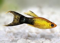 Fish, Pets, Cards, Animals, Animales, Animaux, Pisces, Animal, Maps